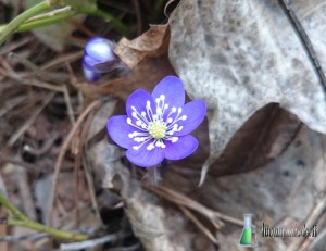 Sinivuokot kukkivat Turussa