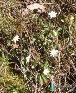 Valkovuokot kukkivat Turussa