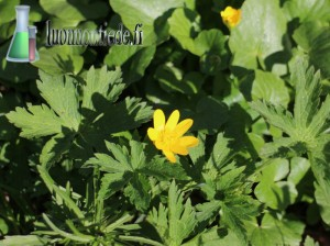 Keltakukkainen leinikkikasvi